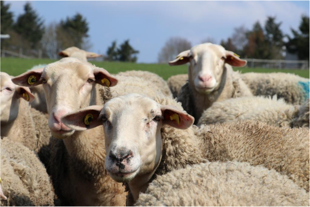 Hof Lämmerberg Medebach - Aufbau einer Bio-Schafkäserei mit Schaukäserei